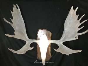 60inch Moose - Cast in Clear ResinIlluminated with leds and accented with custom walnut panel - The Antler Shack Antler Lamp Clear Castings