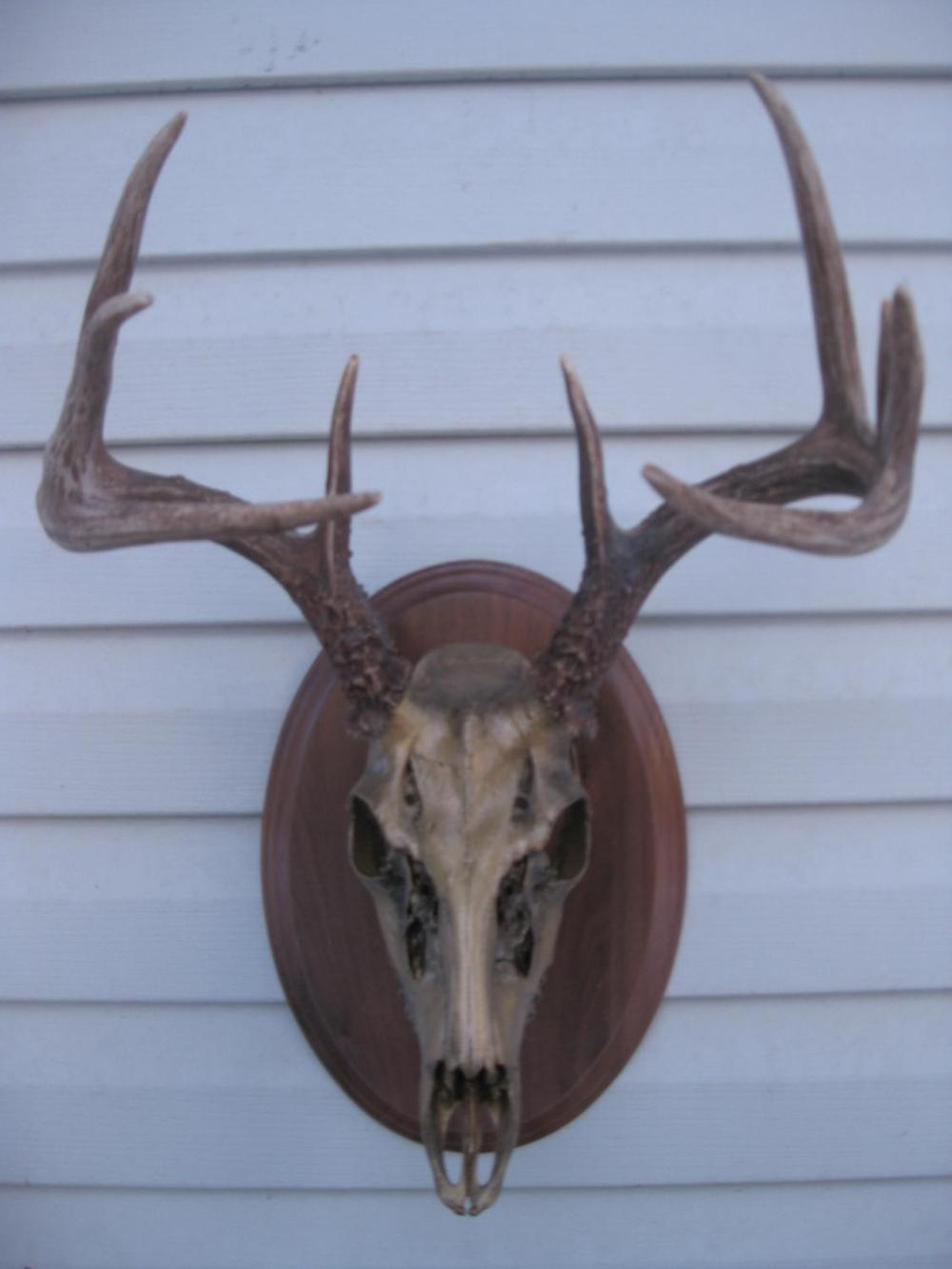 Brass Whitetail - The Antler Shack copper,bronze, brass, and silver metalized creations limited addition bronze