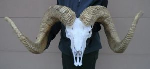 Giant Stone Sheep Re-creation also available with skull cap, metal skull or metal skull and horns. - The Antler Shack Bighorn Sheep Lamps Wild Sheep reproductions